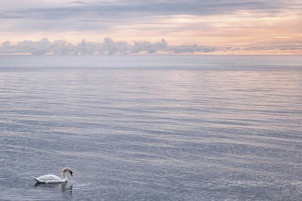 Tranquility with a swan