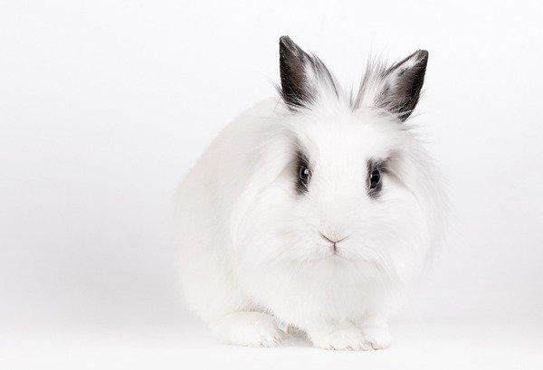Biały królik