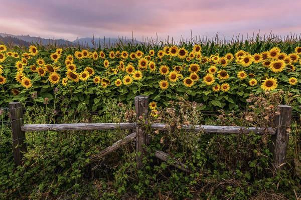 Słonecznikowe pole